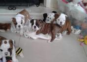Kusa Registered British Bulldog