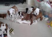 Kusa Registered British Bulldog