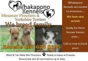 Registered Miniature Pinscher Puppies for sale R3000