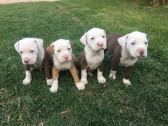 Registered Pitbull Puppies