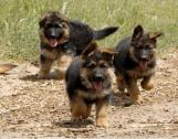 True german shepherd Puppies! Top quality