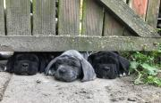 Neapolitan Mastiff puppies for sale