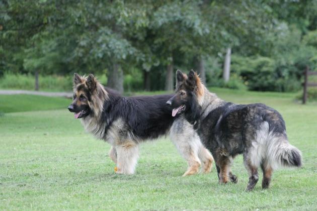 100% Top German Shepherd Line Puppies