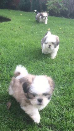 Beautiful Little Of Boys And Girls Shih Tzu puppies (tri Coulor )