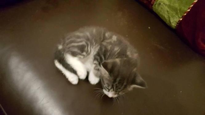 Bengal mix kitten (Archie)