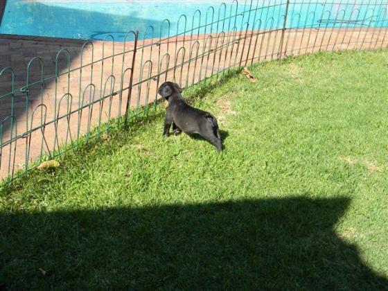Black boerboel puppies for sale