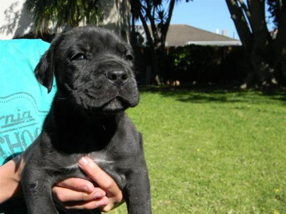 Black boerboel puppies for sale