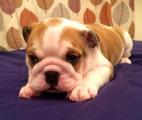 Cute English Bulldog Puppies available in Westonaria, Gauteng