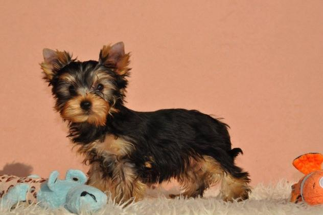 girl Yorkshire Terrier.