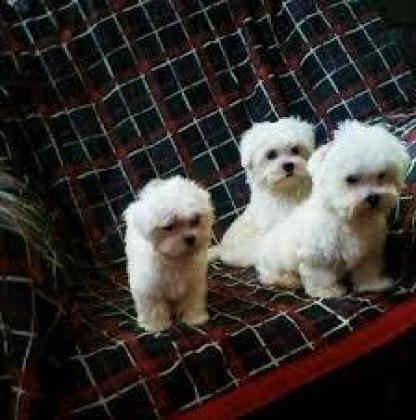 healthy and lovely bichon maltese for adoption