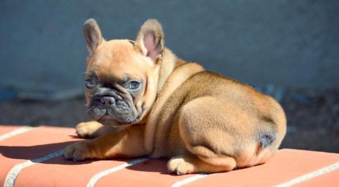 KUSA Health Tested blues French Bulldog Puppies