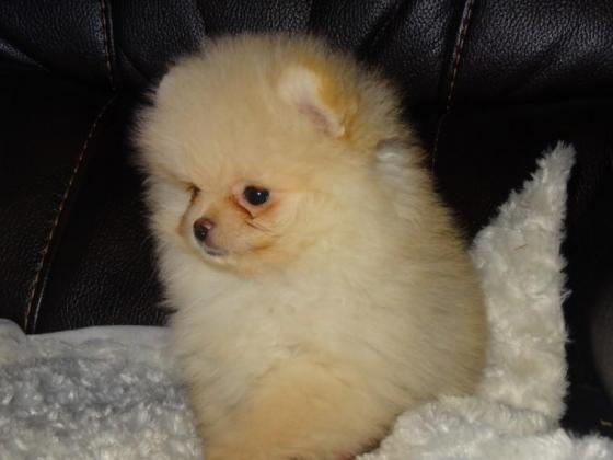 KUSA registered Pomeranian (Toy Pom) pups ready for reservation