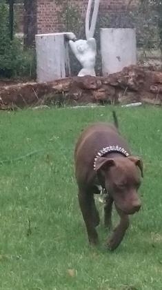 Pit bull terrior for sale