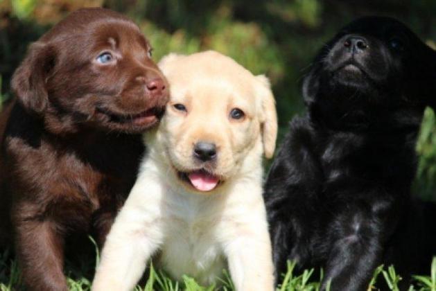 Registered Chocolate and Yellow Labrador puppies for sale Pretoria in Pretoria-Tshwane, Gauteng