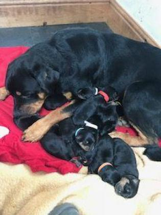 Rotweiler puppies for sale in Harrismith, Free State