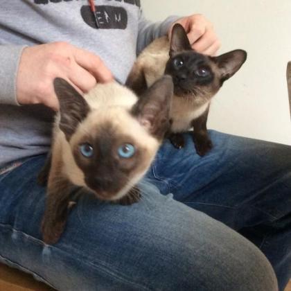 Siamese Gccf Reg Kittens in Kimberley, Northern Cape