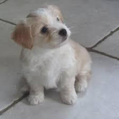 sweet and lovely bichon maltes puppies for adoption.
