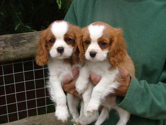 Beautiful smart Cavalier king charles spaniel puppies for sale
