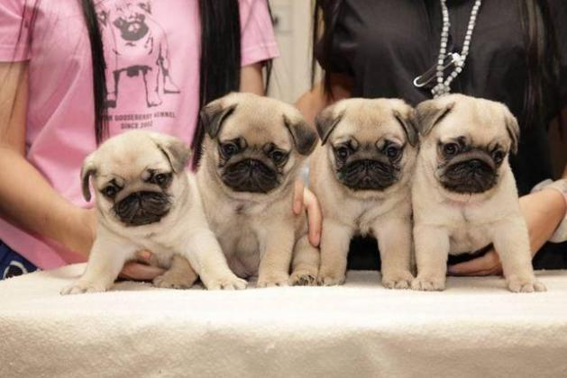 Beautiful 100% purebred Pug puppies for sale