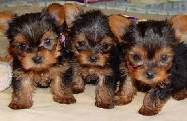 Yorkshire Terrier puppies for sale in Johannesburg, Gauteng