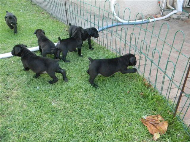 Black Boerboel Puppies For Sale Port Elizabeth Public Ads