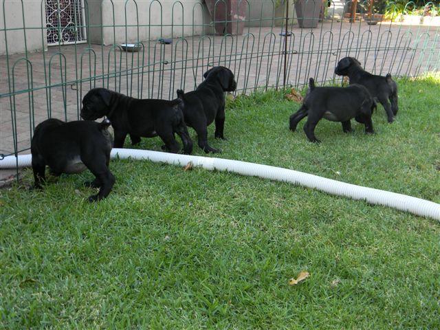 Amazing Boerboel Black Adorable Dog - black_boerboel_puppies_for_sale-1511801131-969-e  Pic_577751  .jpg