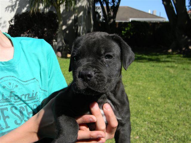 Must see Boerboel Black Adorable Dog - black_boerboel_puppies_for_sale-1511801205-973-e  Collection_469285  .jpg