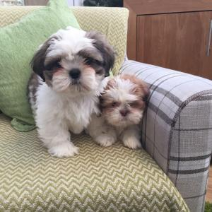 Shih Tzu Dogs Or Puppies for sale in Western Cape | Public