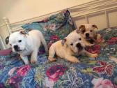 Fantastic English Bulldog Puppies