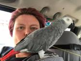 African Grey Congo Adorable and Very Friendly