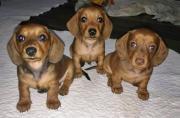 Stunning miniature dachshund puppies