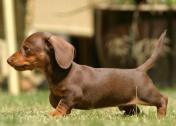 9 Weeks old male and female Dachshund puppies