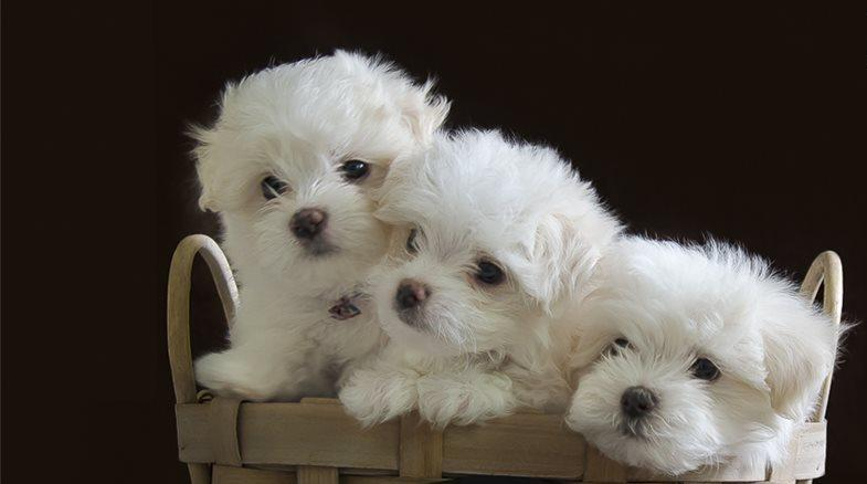 Adorable Teacup Maltese puppies. | Centurion | Public Ads ...