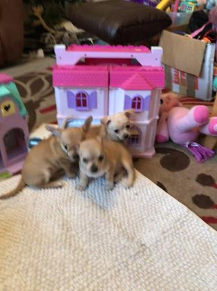 3 Small Cute Chihuahua Puppies