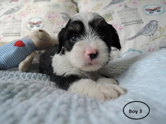 8 Weeks Old Havanese Puppies