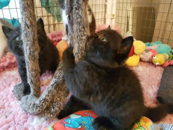 Adorable Chocolate British Shorthair Kittens