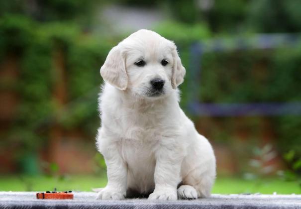 affectionate Golden Retriever puppies