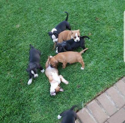 Amstaff Puppies for sale
