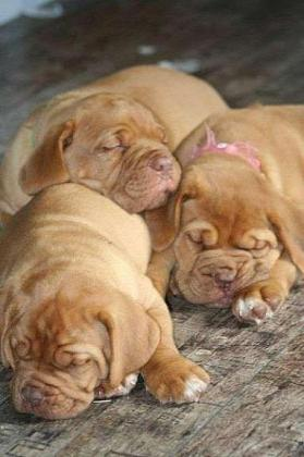 Beautiful Chunky French Mastiff Puppies in Middelburg-Mpumalanga, Mpumalanga
