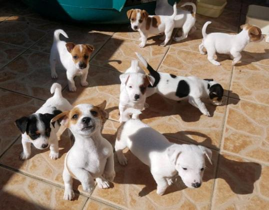 Beautiful Jack Russel puppies in Kimberley, Northern Cape