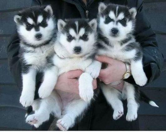 beautiful males and females Siberian huskies pups