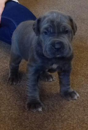 Beautiful Neapolitan Mastiff For Sale