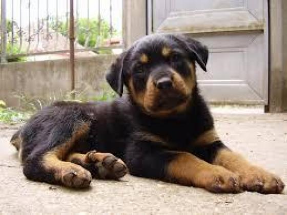 Beautiful Rottweiler puppies available