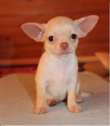 Chihuahua puppies ready for love home
