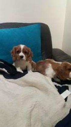 Cute cavalier king charles spaniel puppies available