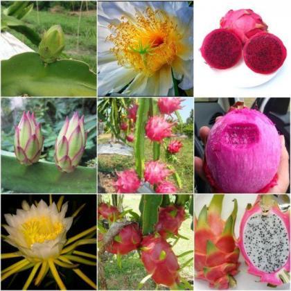 Dragon Fruit American Beauty, Haleys Commet, Purple Haze and Vietnamese Giant in Pretoria-Tshwane, Gauteng