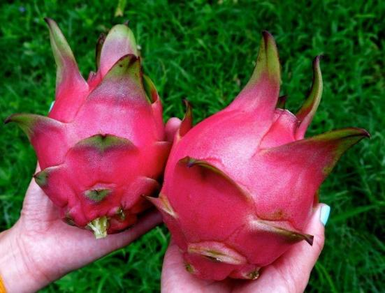 Dragon Fruit Ruby Red and White Cuttings      R 60.00