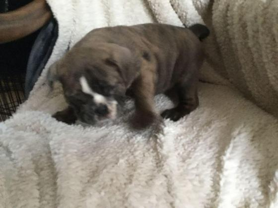 English Bulldog Puppies Big Price Drop Ready To Go