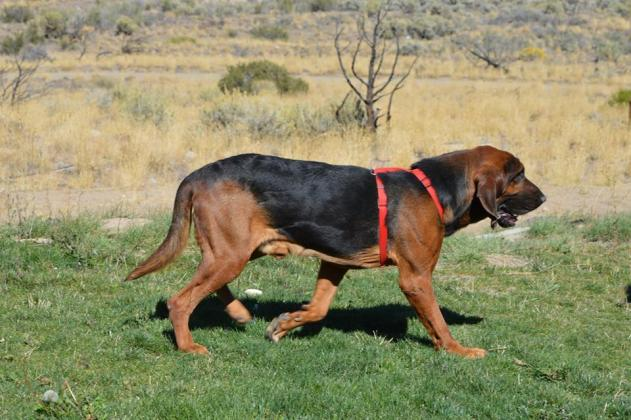 Excellent hunting and tracking Bloodhound puppies in Port Elizabeth, Eastern Cape