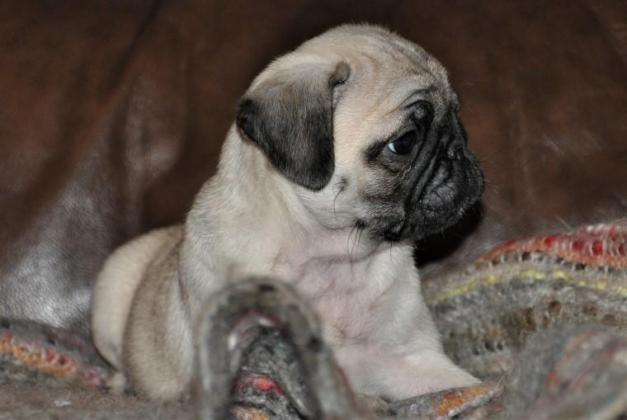 Fantastic pug puppies available for sale
